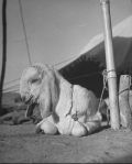 Mahatma's long eared goat